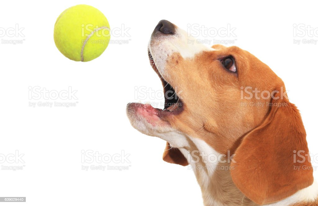 Beagle catches ball isolated on white background stock photo