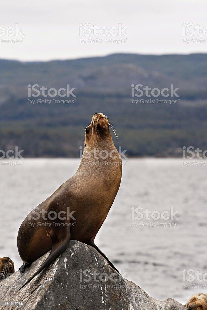 Beagle Channel Sea Lion stock photo
