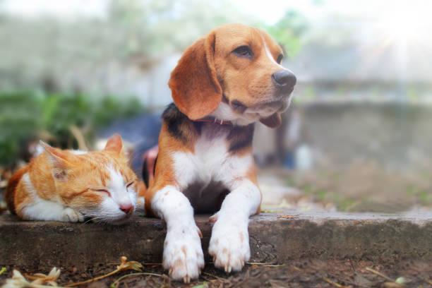 Beagle hond en bruine kat liggend samen op het voetpad buiten in het park. foto