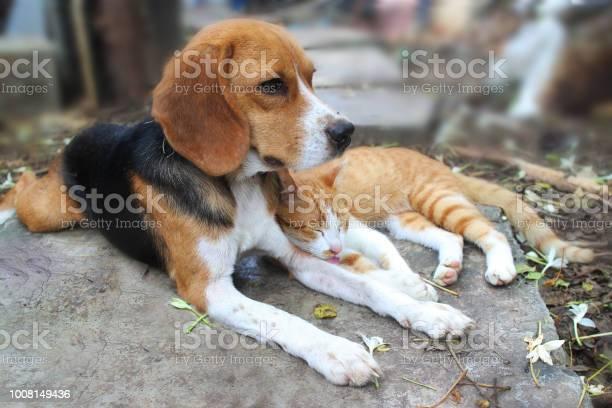 Beagle dog and brown cat lying together on the footpath picture id1008149436?b=1&k=6&m=1008149436&s=612x612&h=eepnxlq6kzctgahfd6e6mlrfg8r7rwukv lrigcw 9m=