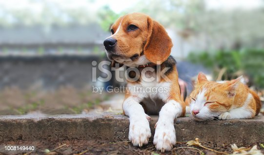 istock Beagle dog and brown cat lying together on the footpath. 1008149440