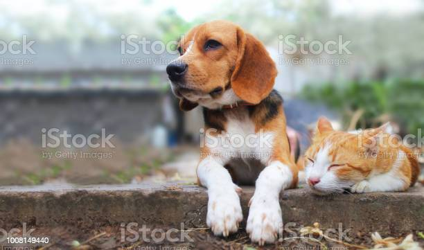 Beagle dog and brown cat lying together on the footpath picture id1008149440?b=1&k=6&m=1008149440&s=612x612&h=3r lost01y3qvxixwbs okdovh uxfhrru5 gud6osw=