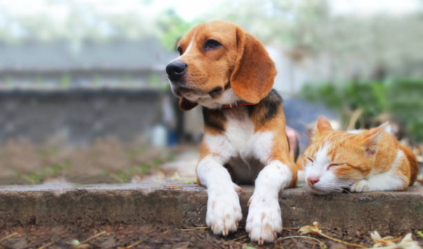 beagle dog and brown cat lying together on the footpath. - dog stock pictures, royalty-free photos & images