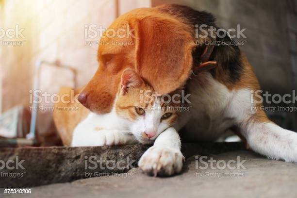 Beagle dog and brown cat picture id875340206?b=1&k=6&m=875340206&s=612x612&h=qxpbqroe5iq5g2dh9c ldfrt vw4pxojd00osusljtq=
