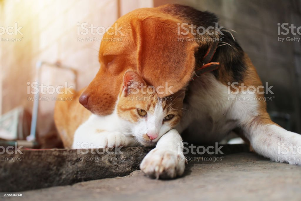 Beagle dog and brown cat. stock photo