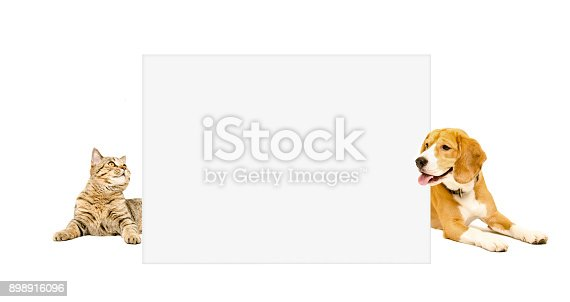 Beagle dog and cat Scottish Straight peeking  from behind banner Isolated on white background