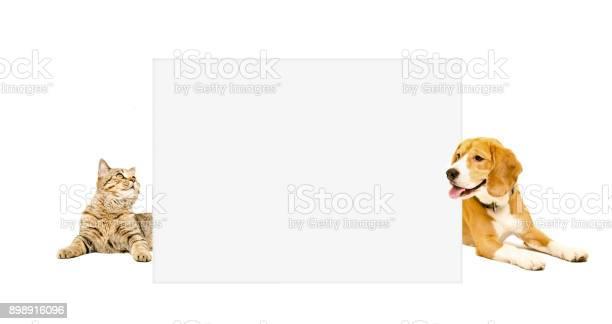 Beagle dog and cat scottish straight peeking from behind banner picture id898916096?b=1&k=6&m=898916096&s=612x612&h=hndtel0cg5ti4xeeveplholxu7 x6seqwxjgpb95kvs=