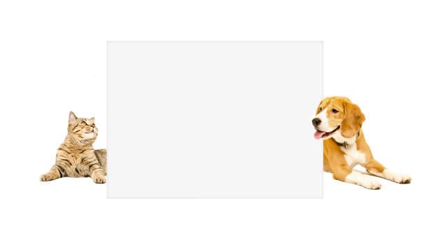 Beagle dog and cat scottish straight peeking from behind banner picture id898916096?b=1&k=6&m=898916096&s=612x612&w=0&h=mvhfznnss7srccxvrqvmbmfoj3ilq58llceu7hblss0=