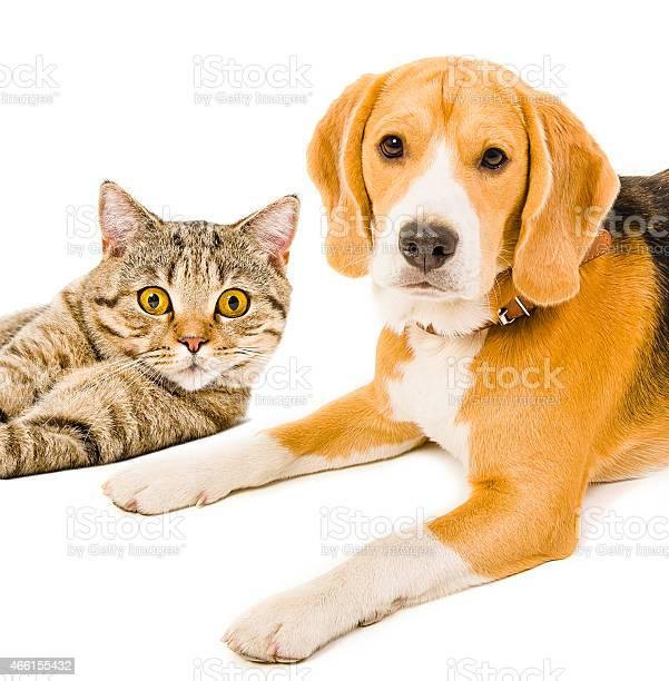 Beagle dog and cat scottish straight picture id466155432?b=1&k=6&m=466155432&s=612x612&h=fvt bfgwy7nnxbkaaspz29j48 aqg0bwuvhysxdpdou=