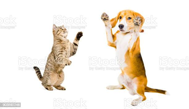 Beagle dog and cat scottish straight playing together picture id903592246?b=1&k=6&m=903592246&s=612x612&h=4q4yxsvyh4eya5h4gep0ue7qpatmevzioronuwzw1n8=