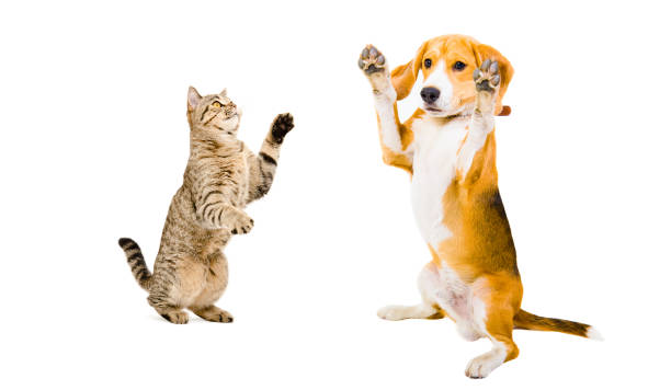 Beagle dog and cat scottish straight playing together picture id903592246?b=1&k=6&m=903592246&s=612x612&w=0&h=ocx6ngxtj0czdbpezhyi37agcur1atvw7xmz7fq8pkg=
