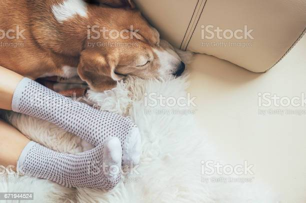 Beagle dog and woman relax together on comfortable sofa picture id671944524?b=1&k=6&m=671944524&s=612x612&h=1 mswpyd uxgjk7puixtmnh7jzi2lgjqirfdzasm3d4=