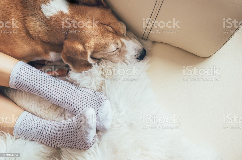 Beagle dog and woman relax together on comfortable sofa stock photo