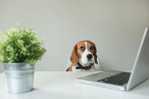 Beagle Hund im Büro mit laptop-Tisch – Foto