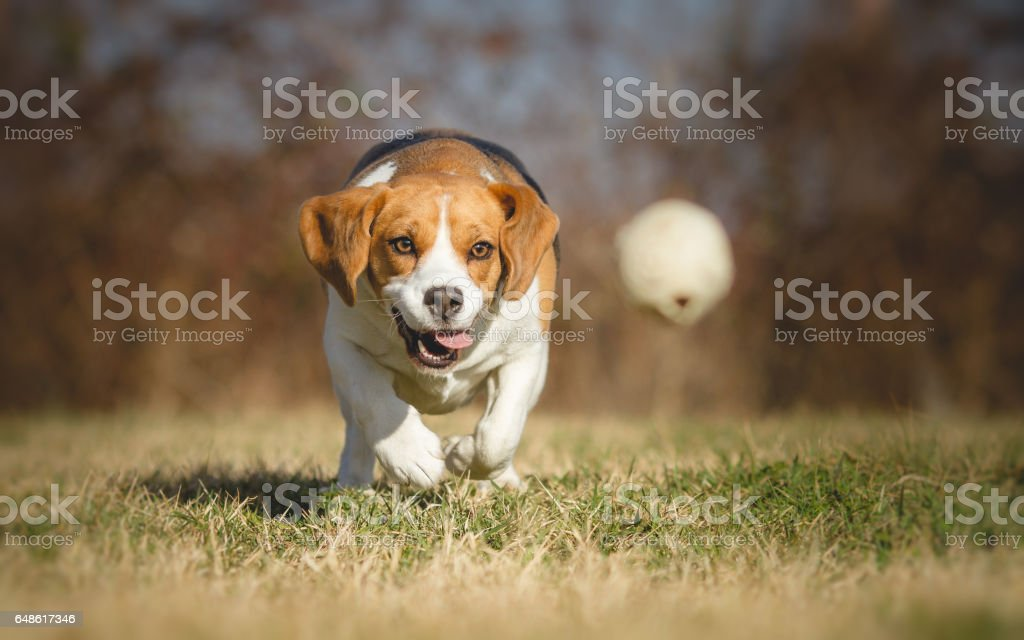 Beagle dog chasing a ball - Photo