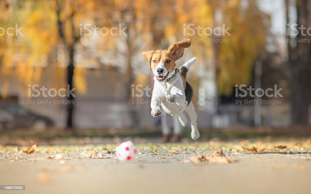 Perro Beagle atrapar pelota y paracaidismo en park - foto de stock