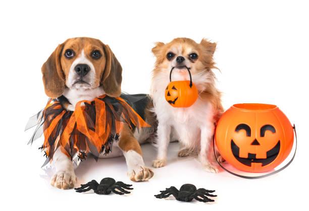 beagle hund, chihuahua und halloween - hund spinnenkostüm stock-fotos und bilder
