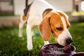 istock Beagle dog drinking water to cool off in shade 1159036444