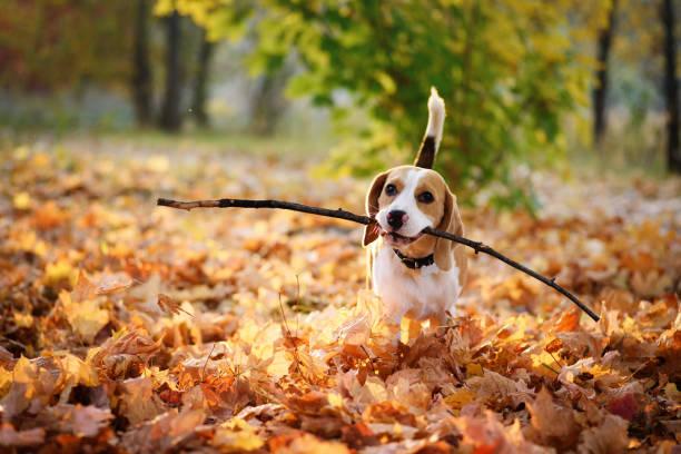 Beagle dog enjoying autumn outdoors picture id1182872584?b=1&k=6&m=1182872584&s=612x612&w=0&h=h2zz4melxc28qygqgq46ikcaty9mxbhjywvfvgga2wm=