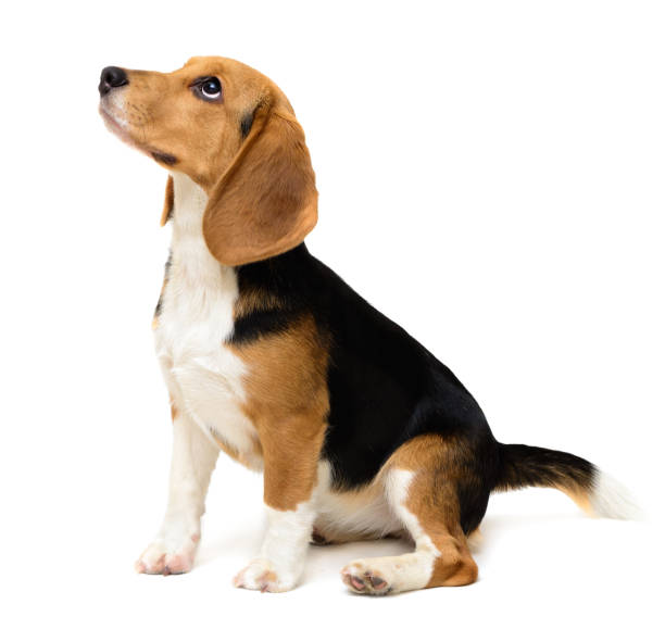Beagle dog female isolated on a white Cute Beagle dog puppy isolated on white background beagle stock pictures, royalty-free photos & images