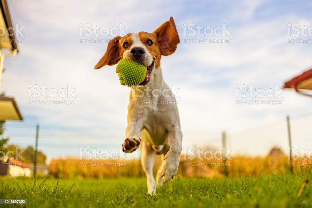 Beagle dog fun in garden outdoors run and jump with ball towards camera royalty-free stock photo