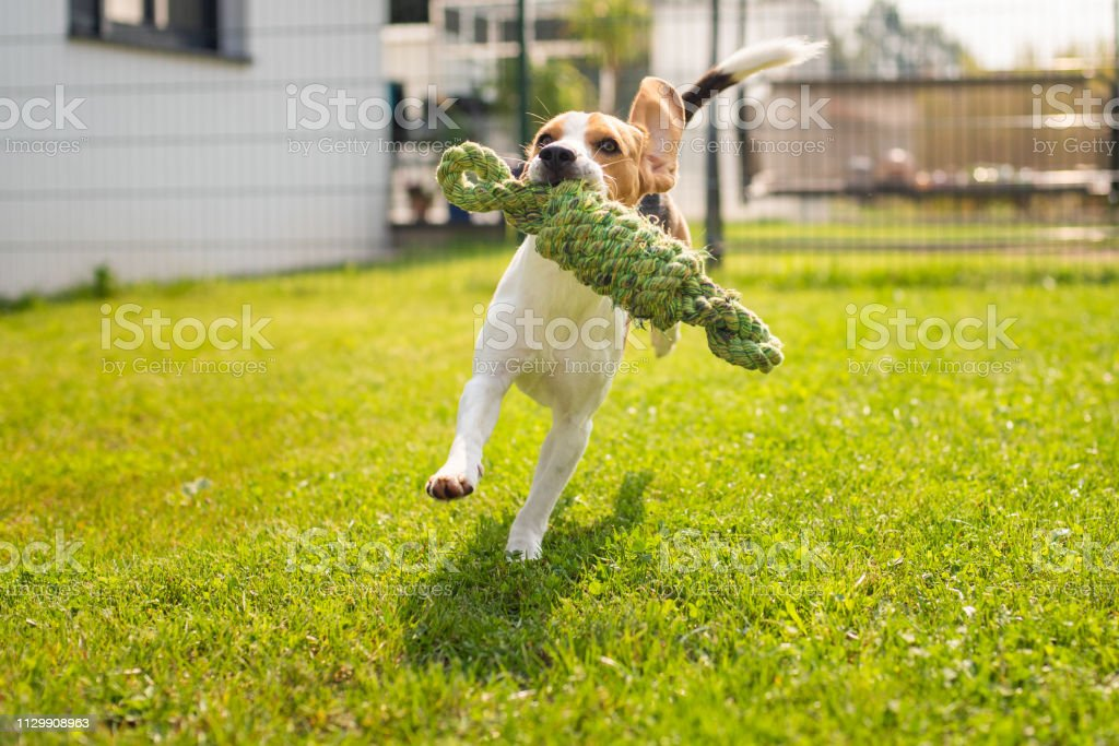 Beagle Dog Fun In Garden Outdoors Run And Jump With Knot