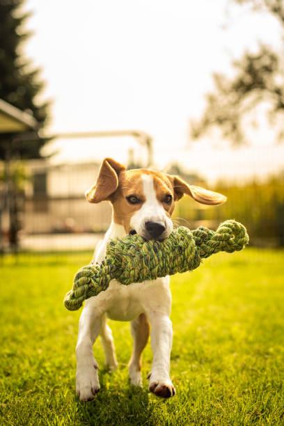 Beagle dog fun in garden outdoors run and jump with knot rope picture id1129909569?b=1&k=6&m=1129909569&s=612x612&w=0&h=awj5qv3qsdswny2kc3iyqtpbegvt0keujv71asmq7zg=