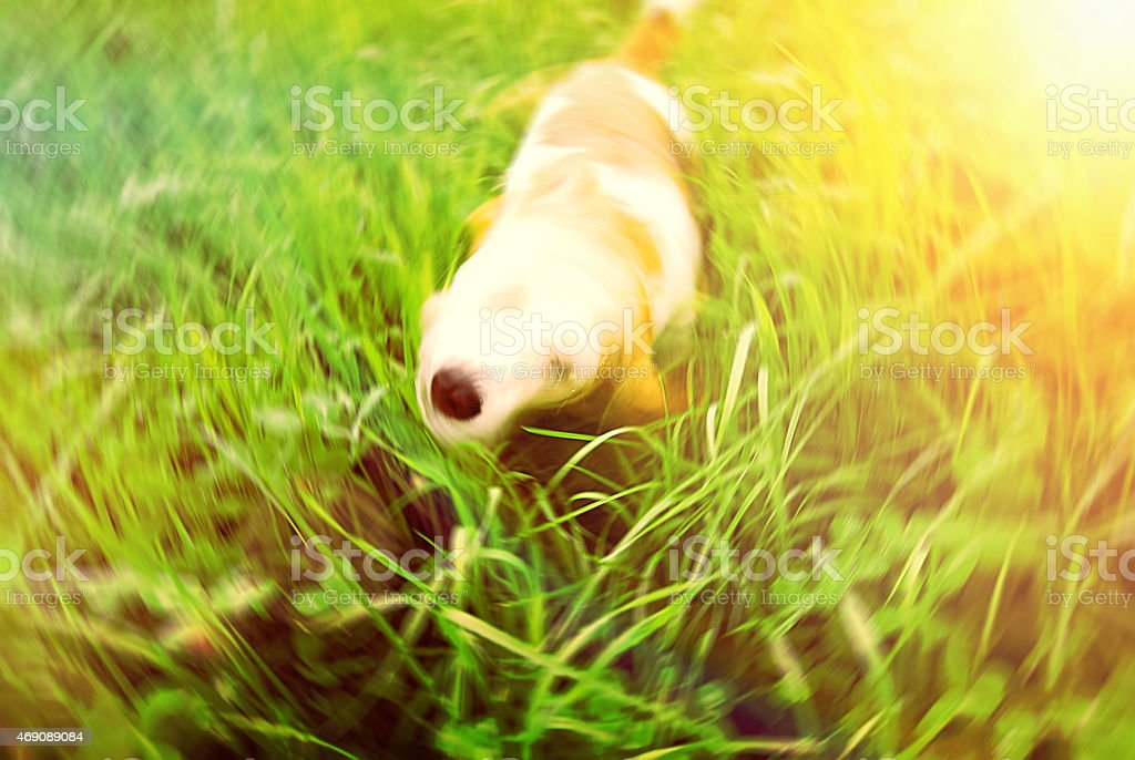 Beagle dog getting dry motion stock photo