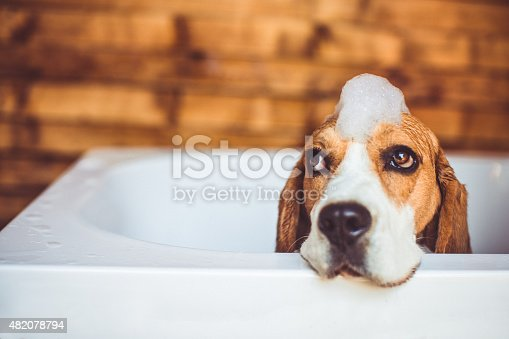 Beagle dog covered in foam trying to escape the bathtub, while having a bath