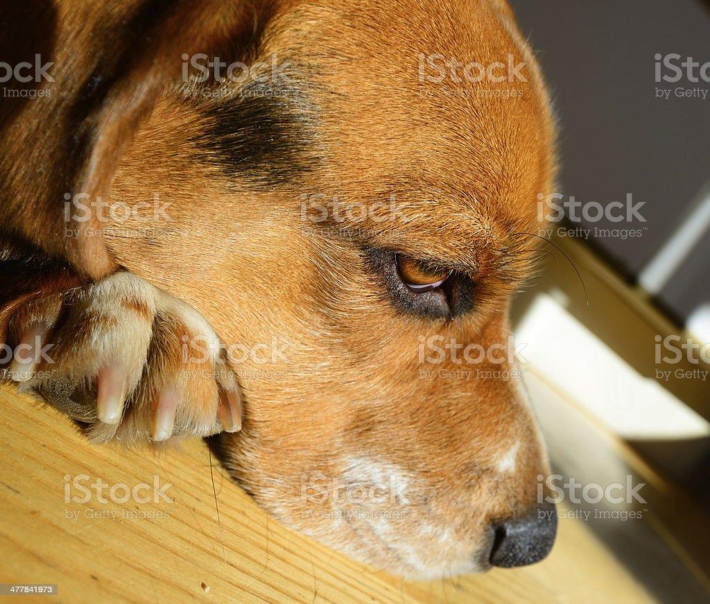 Beagle dog, head sunlit royalty-free stock photo