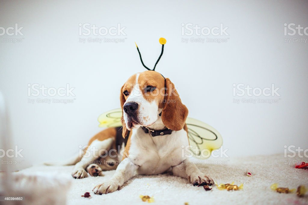 Beagle dog in a bee costume stock photo