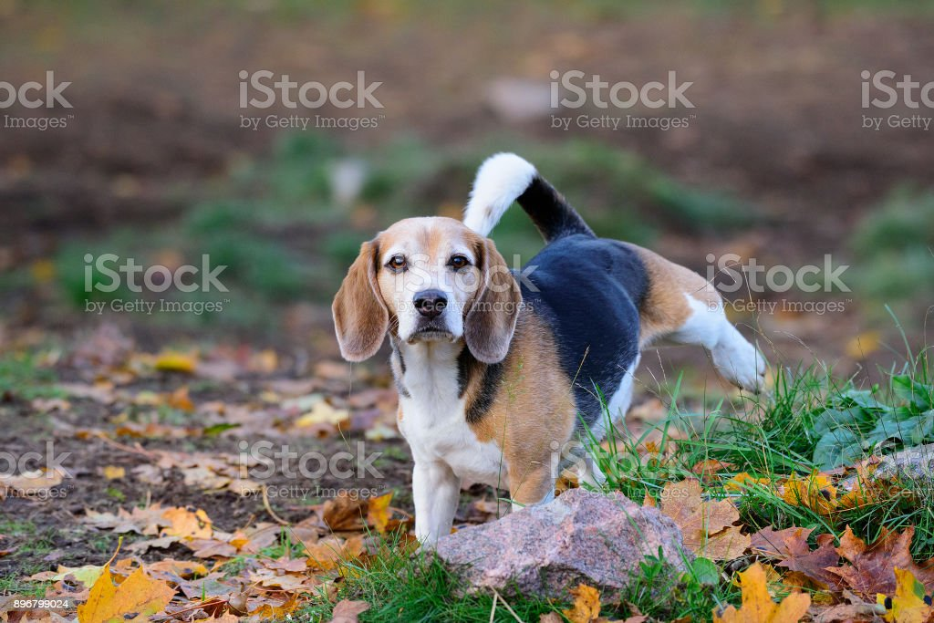 Beagle dog in fall park, peeing - foto stock