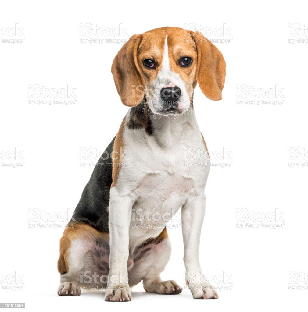 Beagle dog in portrait against white background stock photo