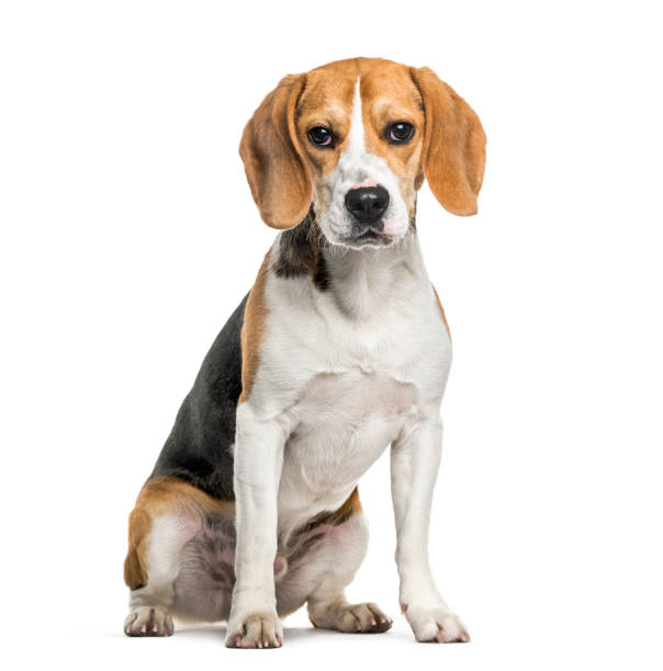 Beagle dog in portrait against white background Beagle dog in portrait against white background beagle stock pictures, royalty-free photos & images