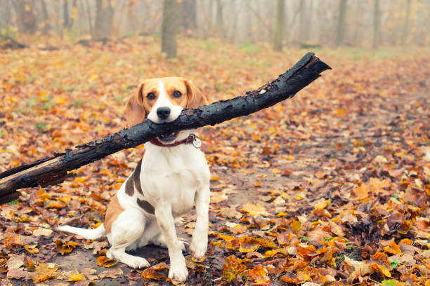 Beagle dog in the autumn forest plays with stick stock photo