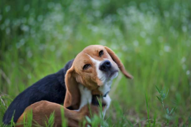 Beagle hond in het veld wiild bloem. foto