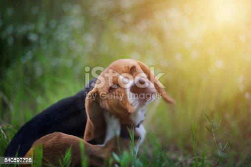istock Beagle dog  in the wiild flower field. 840592728