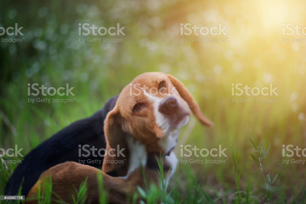 Beagle dog  in the wiild flower field. stock photo