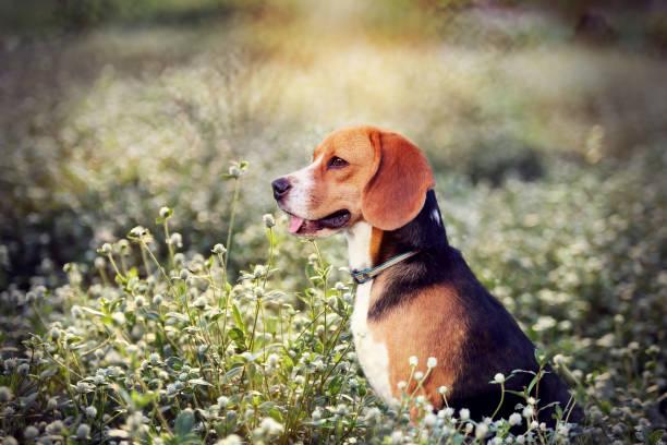 Beagle hond in het veld wilde bloemen. foto