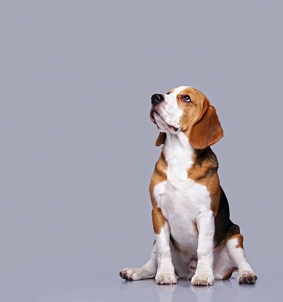 Beagle dog isolated on grey background stock photo