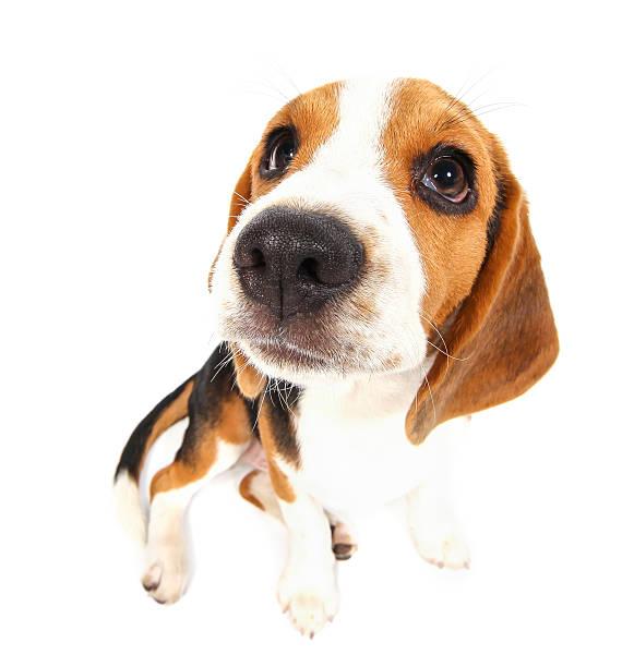 Beagle dog isolated on white stock photo