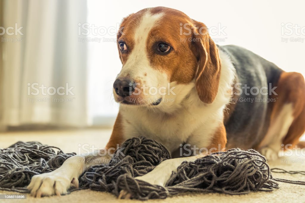An adorable Beagle dog mix is laying on a big tangled mess of grey...