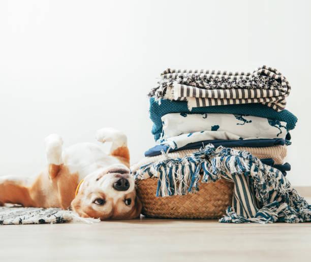 beagle dog lies on floor near the basket with laundry - стирка стоковые фото и изображения