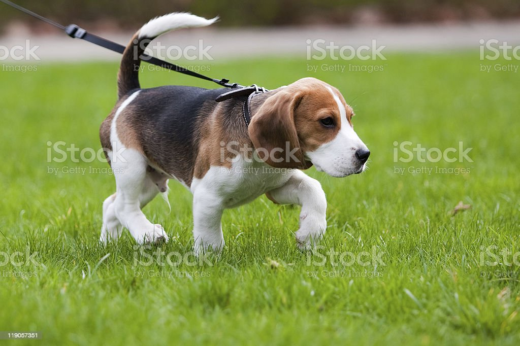 Beagle dog on the scent stock photo