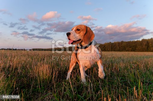 Beagle dog on a walk in a field on an autumn evening at sunset