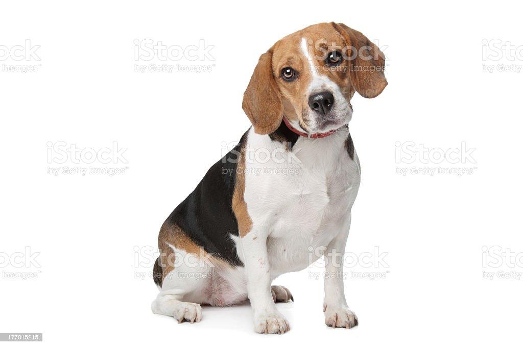 Beagle - Photo