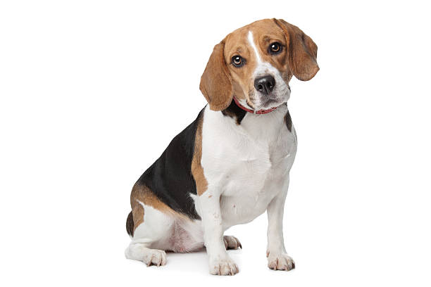 Beagle – Foto