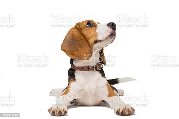 Beagle dog on white background picture id466911962?b=1&k=6&m=466911962&s=612x612&h=ojy baw5q3gsal0dfkschwnuiw1qq3csmwbbw9yp0ky=