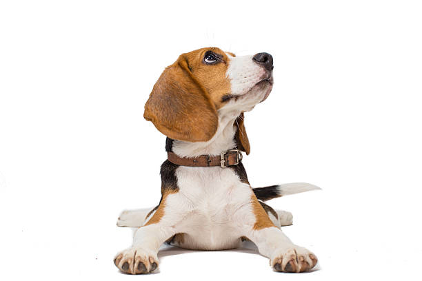 beagle Hund auf weißem Hintergrund – Foto