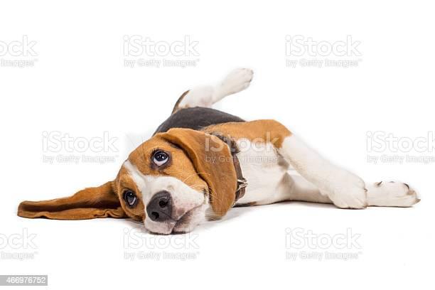Beagle dog on white background picture id466976752?b=1&k=6&m=466976752&s=612x612&h=nuyvbk59i pikgpect v b6ymgzvhdfxtm2hoaoudde=